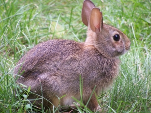 rabbit-closeup-profile