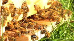 apicoltura-620x349
